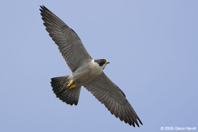 peregrine falcon in SF