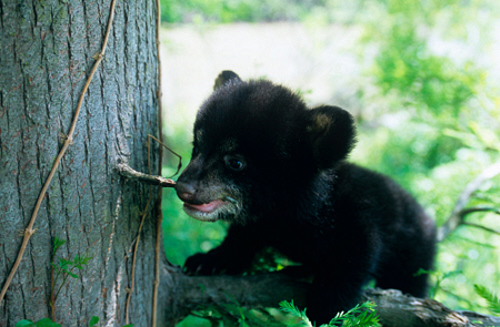 Louisiana black bear cub, image courtesy www.edf.org
