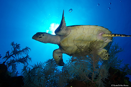 hawksbill turtle