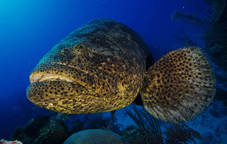 a goliath grouper