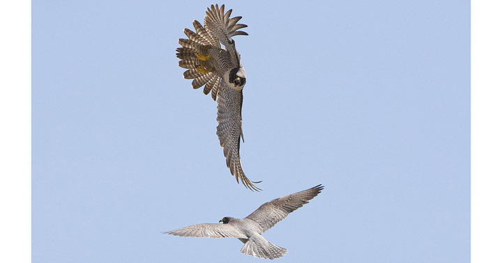 Peregrine falcon aerial display