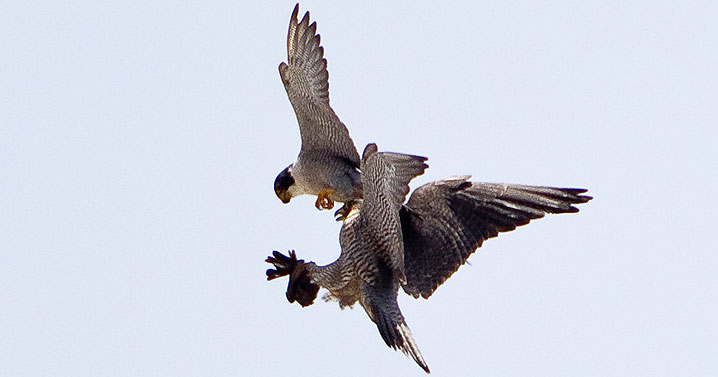 Peregrine falcons transferring prey mid-air