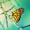 Monarch butterfly on branch
