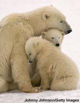 polar_bear_cubs_160px_jpg