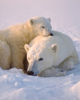 polarbears_160px_jpg