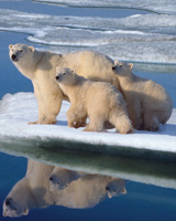 Polar Bear Cubs Floating on Ice