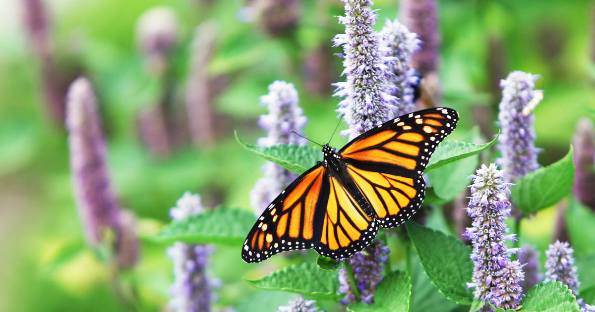 Watch: The Monarch Effect in action
