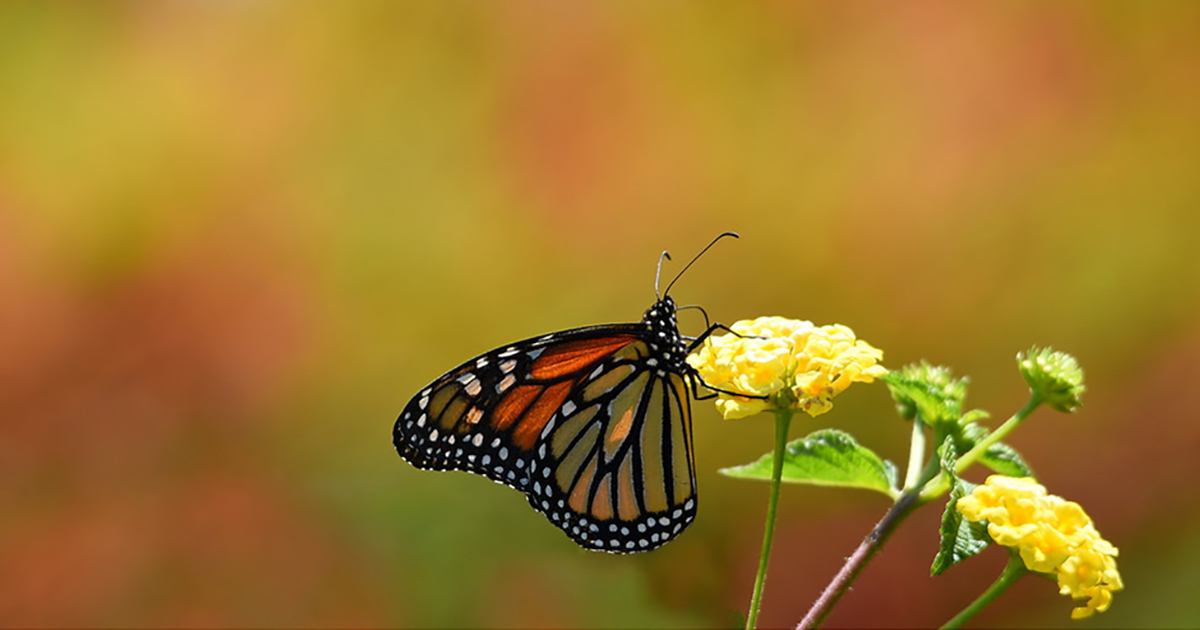 Monarch Butterfly Habitat Exchange | Environmental Defense ...