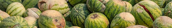 rotten watermelons