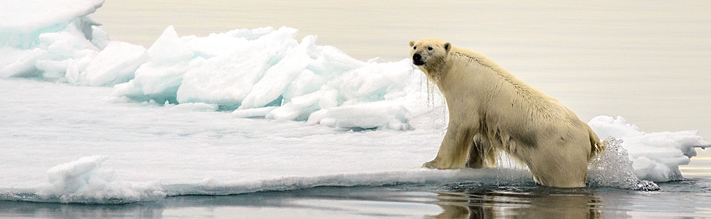 Polar bear coming out of the water